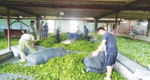 HTX Kiến Thuận: Doanh thu 30 tỷ đồng từ cây chè
