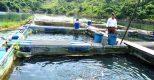 HTX Ta Gia: Sức bật kinh tế từ mô hình nuôi cá lồng