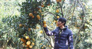 Liên hiệp HTX cam Cao Phong đột phá sản xuất nhờ công nghệ số hóa